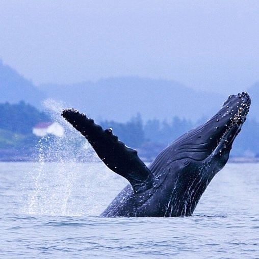 Grey whale breaching. Photo: Jamie's Whaling Station